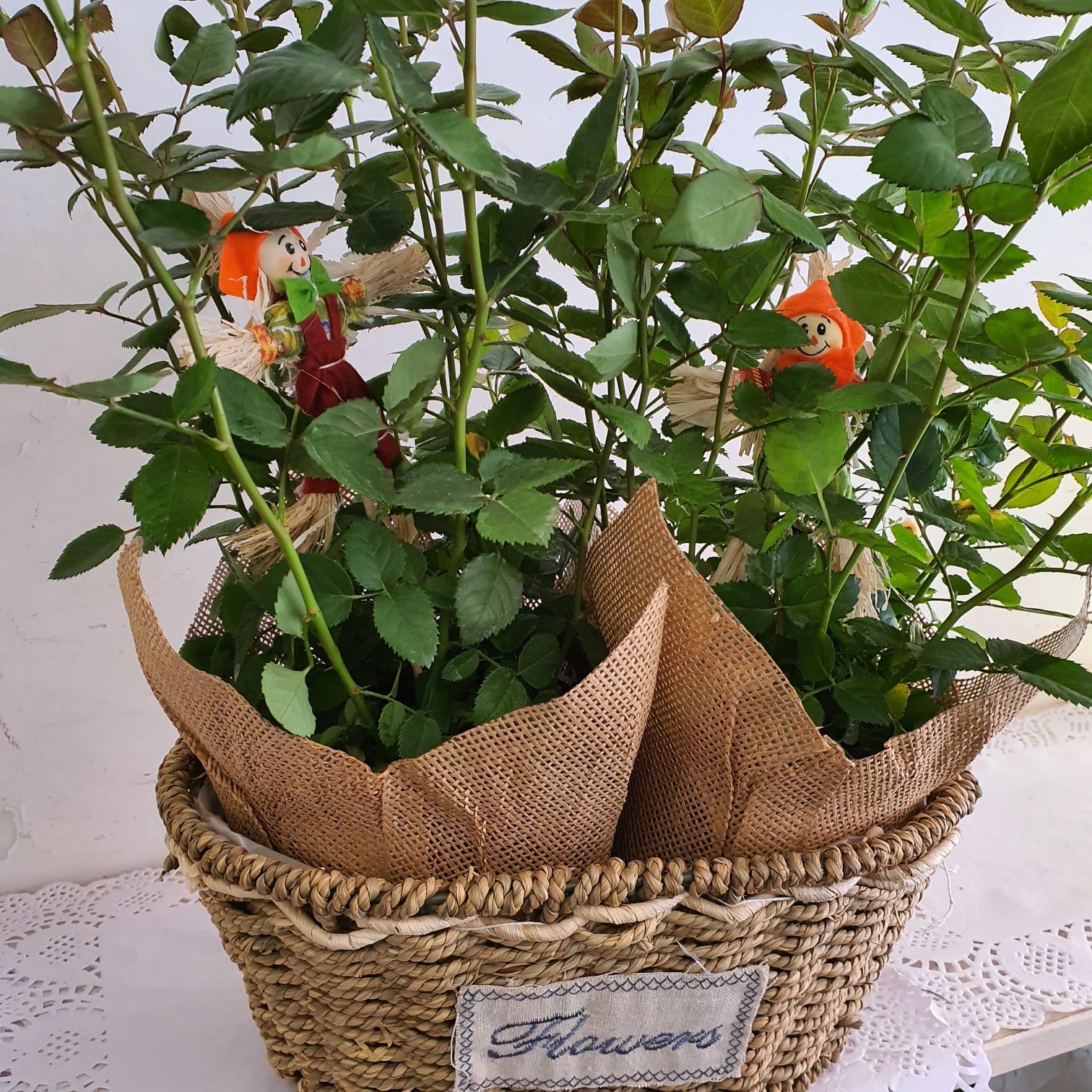 ורד ענבר ננסי